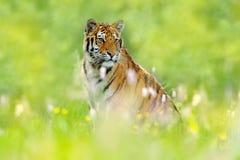 与老虎的夏天 与桃红色和黄色花的老虎 东北虎在美丽的栖所 坐在草的阿穆尔河老虎 Flowe 免版税图库摄影