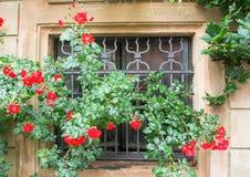 与老金属格子的一个窗口和新鲜的英国兰开斯特家族族徽灌木在雨以后的 免版税库存图片