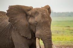 与耳朵的大象今后在Amboseli公园大草原K的 库存图片