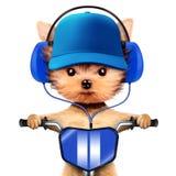 与耳机的可爱的小狗坐自行车 库存图片