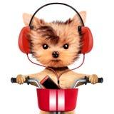 与耳机的可爱的小狗坐自行车 免版税库存照片