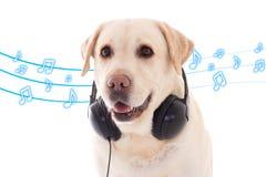 与耳机的金毛猎犬在白色 库存图片