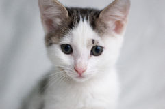 与聪明的眼睛的白色小猫 免版税图库摄影