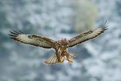 与肉食的冬天场面 飞行鸷 鸟在有开放翼的多雪的森林里 从自然的行动场面 鸷C 免版税库存照片
