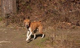 与肮脏的鼻子的狗 免版税库存照片