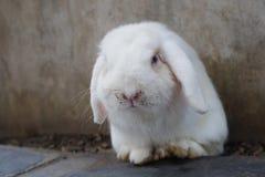 与肮脏的鼻子,选择聚焦的淘气白色兔子 图库摄影