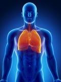 与肺和重点的人力胸部器官 库存图片