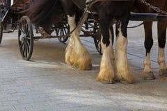 与胆怯毛皮袜子的吉普赛马在更低的腿与 免版税库存图片