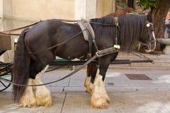 与胆怯毛皮袜子的吉普赛马在stan更低的腿 免版税图库摄影