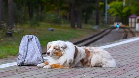 与背包的逗人喜爱的狗 影视素材