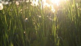 与背后照明的绿色夏天草 影视素材