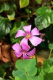 与背景叶子的桃红色花 免版税图库摄影