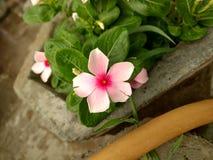 与背景庭院的逗人喜爱的白色小花 免版税图库摄影