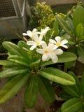 与背景庭院的逗人喜爱的白色小花 库存图片