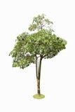 与背景隔绝的夹竹桃科树。 免版税库存图片