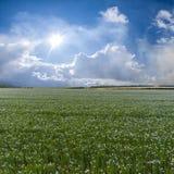 与胡麻的领域的夏天风景 图库摄影