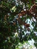 与胶囊和种子的美国麝香树分支 免版税库存图片