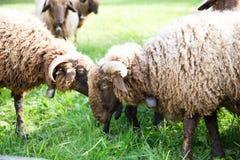 与脖子响铃的卷曲毛皮绵羊吃草在绿色瑞士农场的 免版税图库摄影