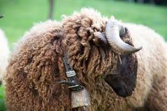 与脖子响铃的卷曲毛皮绵羊在绿色瑞士农场 图库摄影