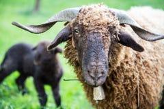 与脖子响铃的卷曲毛皮绵羊在绿色瑞士农场 库存图片