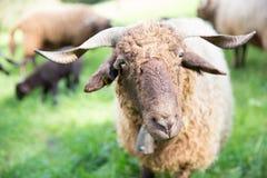 与脖子响铃的卷曲毛皮绵羊在绿色瑞士农场 免版税库存图片