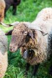 与脖子响铃的卷曲毛皮绵羊在绿色瑞士农场 库存照片