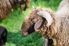 与脖子响铃的卷曲毛皮绵羊在绿色瑞士农场 免版税库存照片