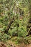 与腐烂的树干的老森林风景 免版税库存照片