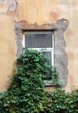 与膏药的老窗口长满与常春藤 库存照片
