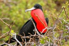 与膨胀的gular囊的男性壮观的Frigatebird在北部Se 免版税库存图片