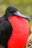 与膨胀的gular囊的男性壮观的Frigatebird在北部Se 库存照片