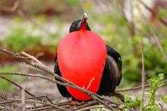 与膨胀的gular囊的男性壮观的Frigatebird在北部Se 免版税图库摄影