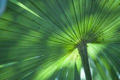 与自然光和生气勃勃的巨型绿松石棕榈叶 库存图片