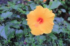 与自然后面地面的一朵木槿花 免版税库存图片