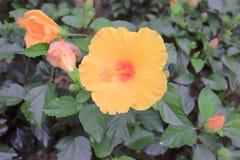 与自然后面地面的一朵木槿花 库存图片