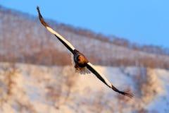 与自然山栖所的老鹰 与雪和老鹰的冬天场面 飞行的罕见的老鹰 Steller ` s海鹰, Haliaeetus pelagicu 免版税库存照片
