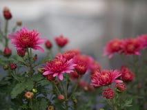 与自然早晨光的一朵五颜六色的芳香翠菊花 免版税图库摄影