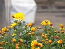 与自然早晨光的一朵五颜六色的芳香翠菊花 S 免版税库存照片