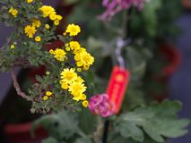 与自然早晨光的一朵五颜六色的芳香翠菊花 S 免版税库存图片