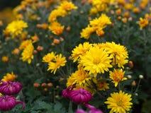 与自然早晨光的一朵五颜六色的芳香翠菊花 S 库存图片