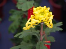 与自然早晨光的一朵五颜六色的芳香翠菊花 S 图库摄影