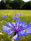 与自然本底夏天开花的野花的宏观照片与明亮的蓝色矢车菊瓣 库存图片