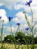 与自然本底夏天开花的野花的宏观照片与明亮的蓝色矢车菊瓣 图库摄影