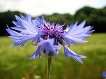 与自然本底夏天开花的野花的宏观照片与明亮的蓝色矢车菊瓣 免版税库存图片