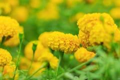 与自然的五颜六色的万寿菊 库存图片
