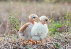 与自然的小鸡在晚上 库存图片