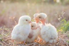 与自然的小鸡在晚上 免版税库存图片