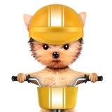 与自行车和盔甲的滑稽的竟赛者狗 免版税库存图片