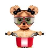 与自行车的滑稽的竟赛者狗 概念查出的体育运动白色 免版税库存照片