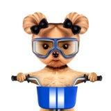与自行车的滑稽的竟赛者狗 概念查出的体育运动白色 库存照片